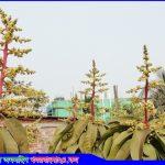 মধুমাসের আগমনী বার্তা দিচ্ছে আমের মুকুল