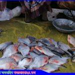 সখীপুরে রূপচাঁদার নামে বিক্রি হচ্ছে নিষিদ্ধ মাছ 'পিরানহা'
